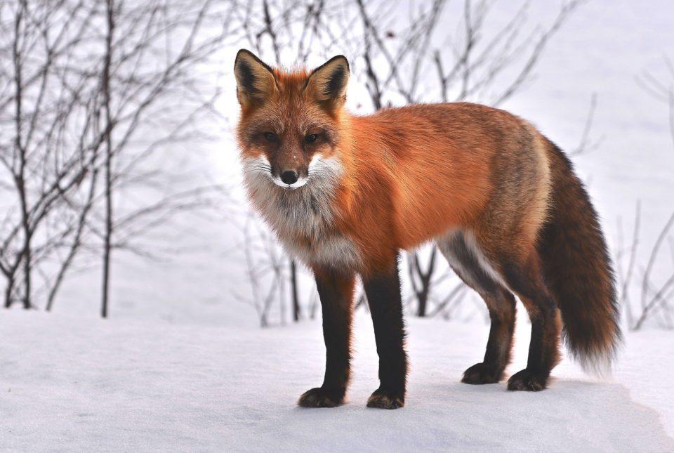 Animaux Fukushima : les animaux sauvages prospèrent dans les zones contaminées