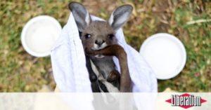 Animaux Incendies en Australie : du tricot pour sauver les animaux