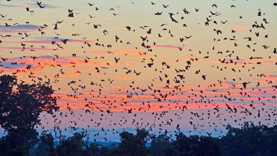Jardin Une « tornade de chauves-souris » s'abat sur une ville australienne
