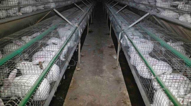Animaux VIDEO. Bretagne: L214 s'invite chez un éleveur de lapins pour faire pression sur l'élevage en cage