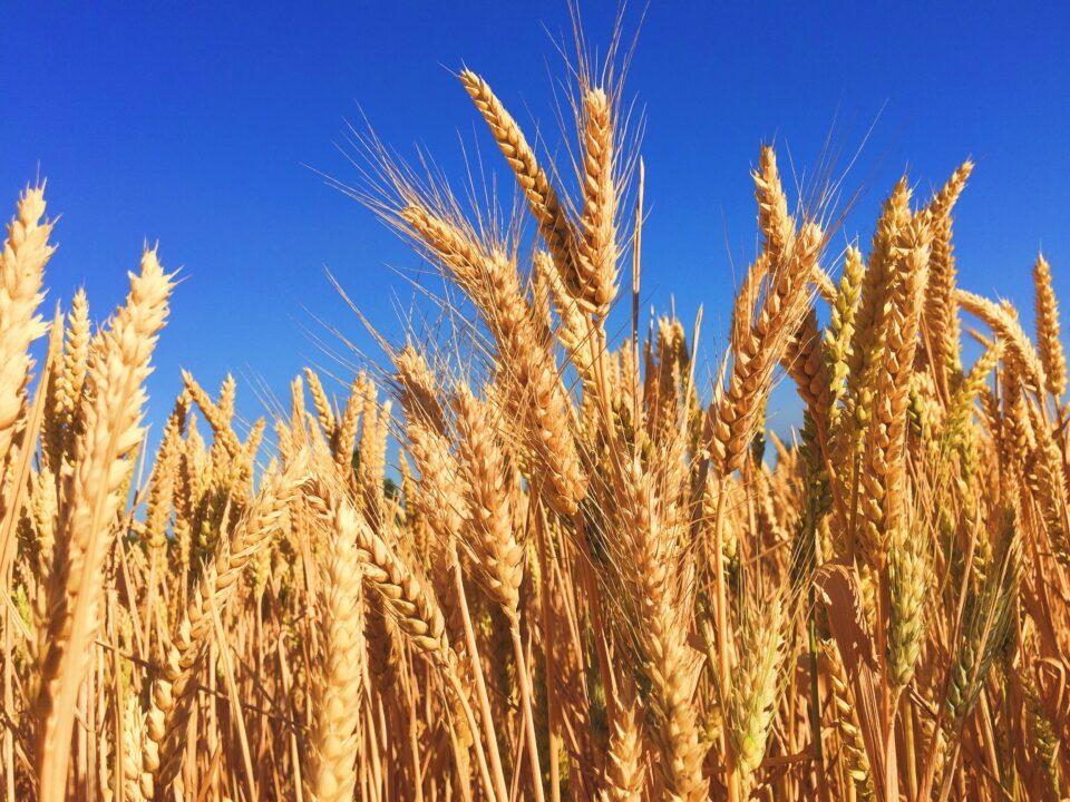 Maillot de bain MIPAAF, al thru lavori Commissione sperimentale nazionale su grano duro