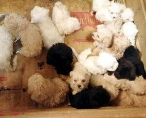 Maillot de bain Edirne'de ele geçirildi! Terrier cinsi 23 yavru köpek