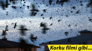 Maillot de bain Korku filmi gibi! Ardahan'daki karga istilasına ilişkin açıklama
