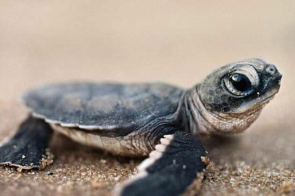 """Maillot de bain Supervisan el nacimiento de 9 tortugas marinas en Ecuador, especie en """"estado inclined"""""""