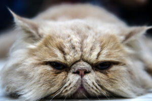 Maillot de bain 25 Hardest Cat Breeds to Engage Care of
