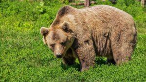 Maillot de bain Pyrénées : l'enquête sur la mort de l'ours Cachou met au jour un vaste trafic de cocaïne
