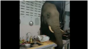 Maillot de bain Elephant stealthily enters Thai household's kitchen to seek food at night