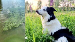 Maillot de bain Familjens chock: Hunden Siri dogs förgiftad av alger